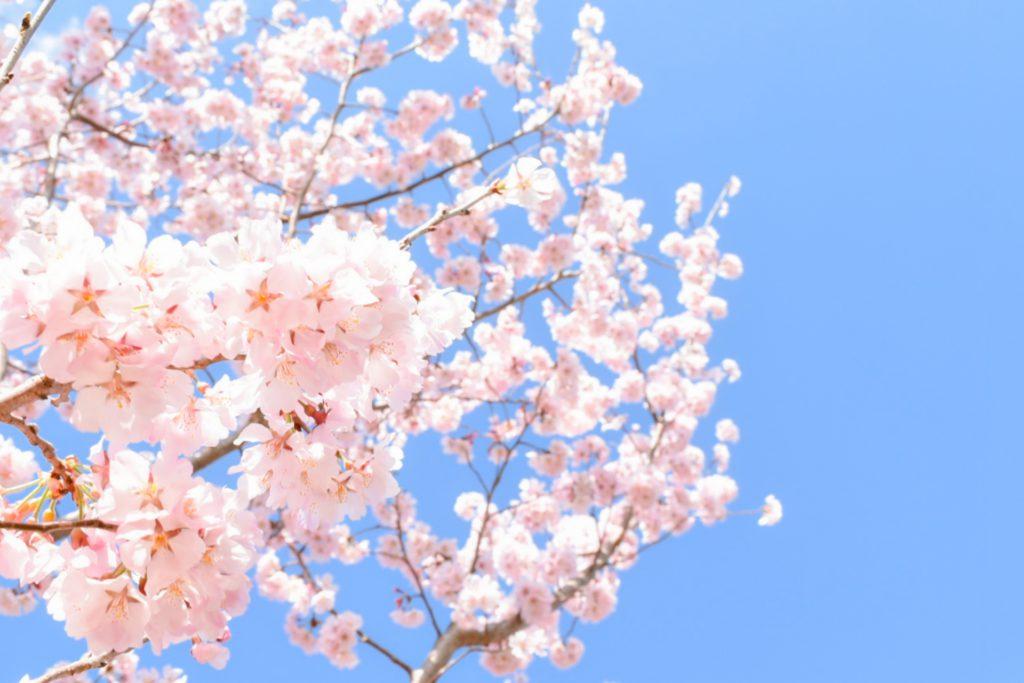 【黒川店】家で桜は育てられる?🌸